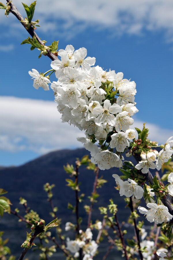 fotos-extremadura-valle-jerte-cerezos-flor-013